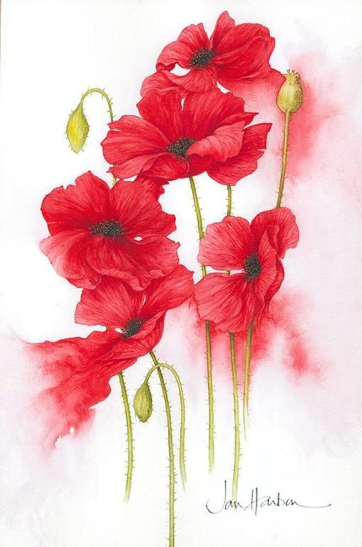 红色罂粟花手绘花朵