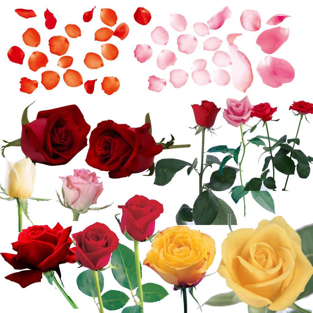 各种颜色玫瑰psd素材
